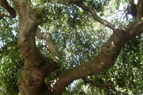 18 Branch of Beech