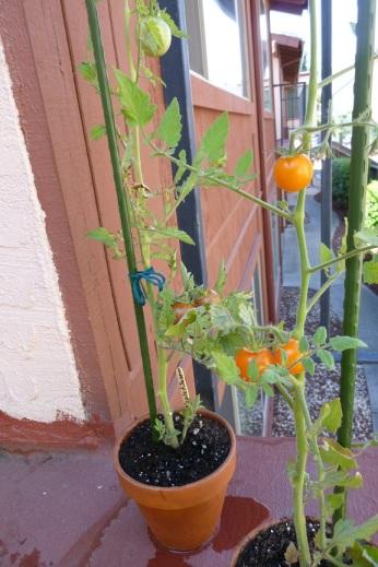 Tomato Plants (2)